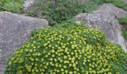 """Azorela ‒ skalnička tak hustá """"že by se dala krájet"""""""