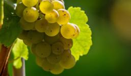 Vypěstujte si vlastní hroznové víno