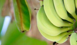 Pěstujeme banány v domácích podmínkách